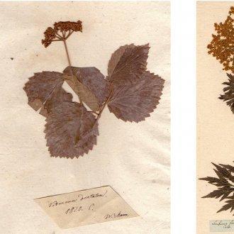 A múzeum legidősebb herbárium lapja a Premontrei gyűjteményből