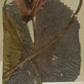 Indiai vörös tündérrózsa Castalia rubra