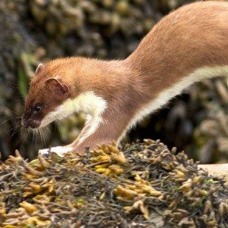 A hermelin télire levedli  barnás-vöröses bundáját. (Kép forrása:  www.aranydio.com)