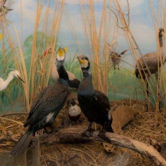 Balaton növény- és állatvilága - állandó kiállítás a Balatoni Múzeumban