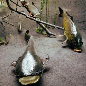 Balatoni halak - állandó kiállítás a Balatoni Múzeumban