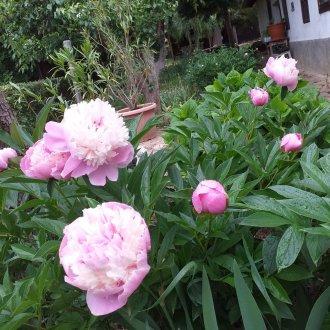 Az ünnep szimbóluma, a pünkösdi rózsa. A 19. századtól díszíti a parasztudvarokat. Balatongyörök, 2020. (Fotó: Gyanó Szilvia)