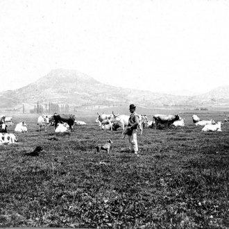 Legelő marhák (Balatoni Múzeum, Fotótár)