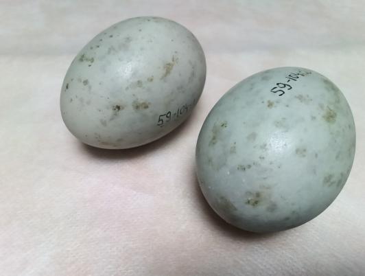 túzok tojás